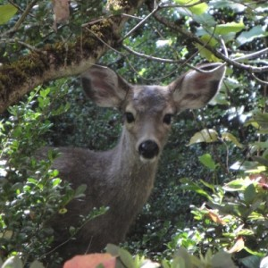 Photo of deer in Lithia Park